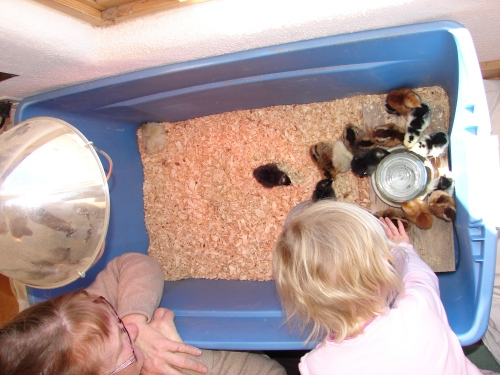 "1st day with the chicks, after Dot squawked ""RUN AWAY! RUN AWAY!"""