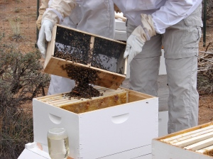 Shaking the package of bees over the queen cage.