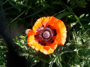A small farm miracle of the year's first poppy that morning.