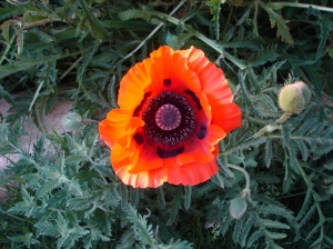 Our first poppy at sunset the day after.